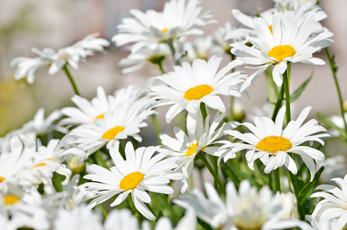 Chamomile - known for its calming effects