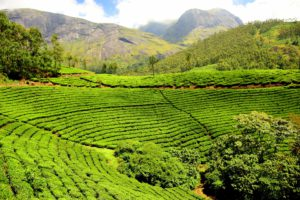 Tea plantation - Kenya has become Africa's largest producer of tea and is the third largest producer in the world, after China and India.