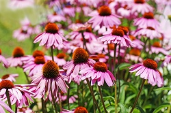 Echinacea - one of the best remedies to help the body rid itself of microbial infections
