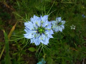 Black Seed (Nigella sativa) - helpful for decreasing body weight due to its anti-obesity effects.