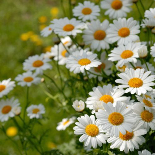 Chamomile – known for its calming effects