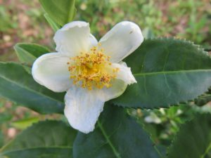 Camellia sinensis - The plant that ALL real or 'true teas' come from- such as green tea, black tea, white tea and oolong tea