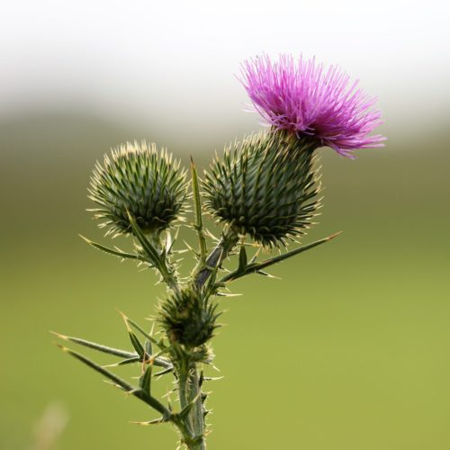 Burdock & flower
