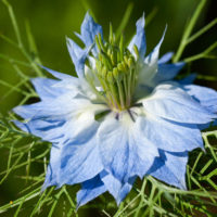 Nigella flower art print photograph for home and office interior design